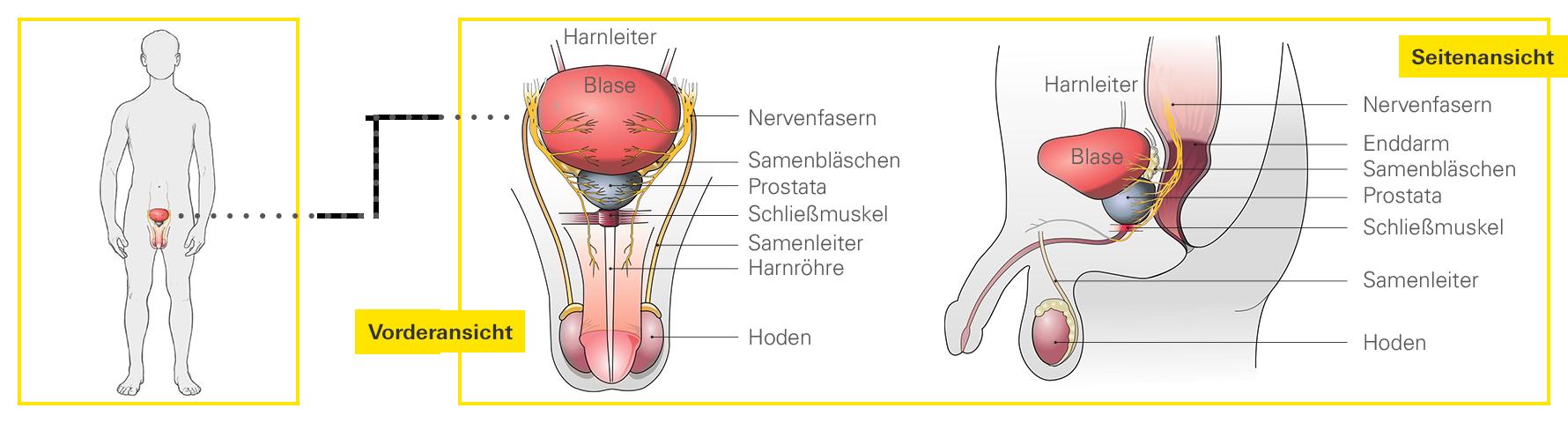 Ungewöhnlich Lage Der Prostata Bilder - Menschliche Anatomie Bilder ...